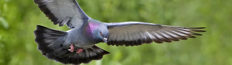 Nieuwsbrief duif